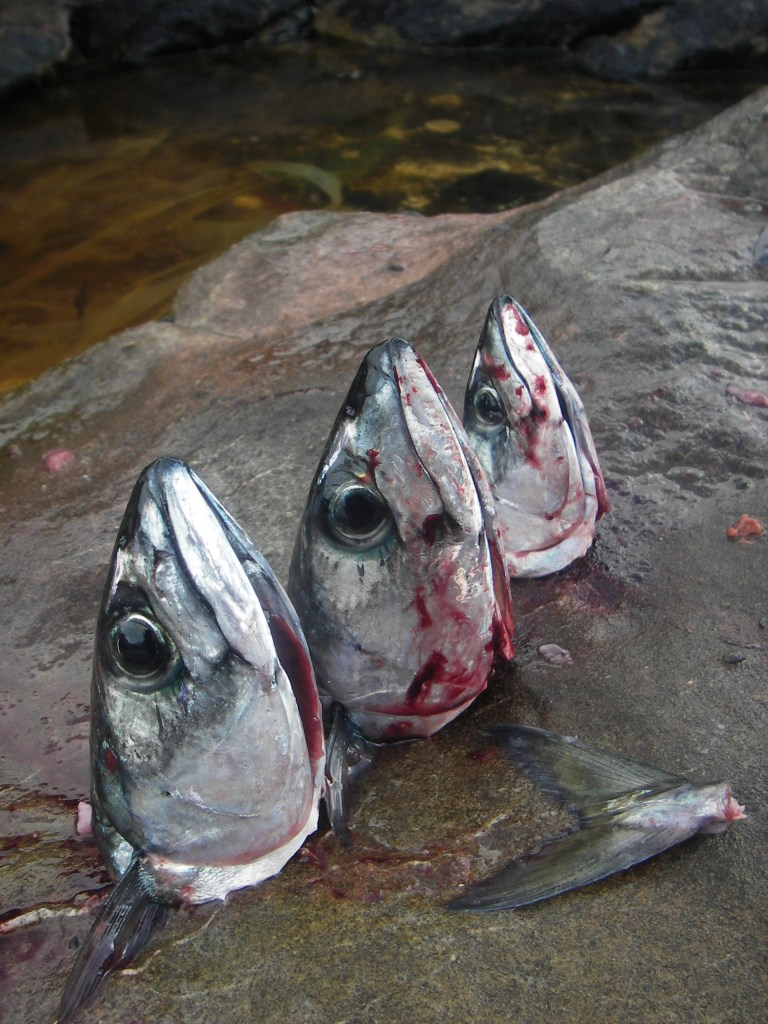 Three severed mackerel heads on the rocks
