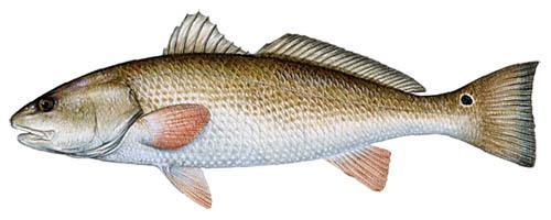 Redfish Fishing Tips