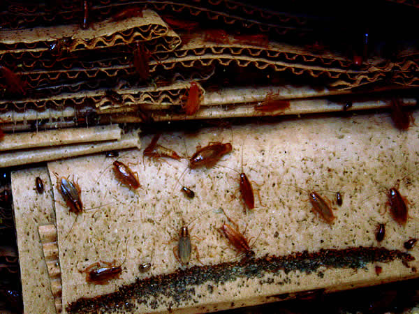 Roaches And Human Health