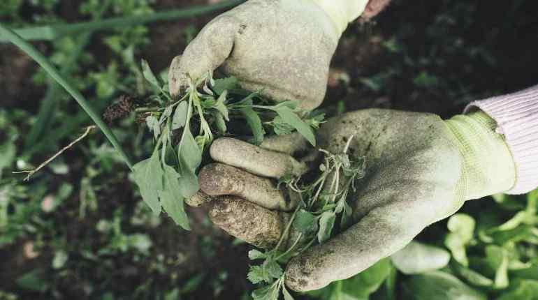 herbicida y malas hierbas