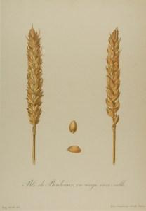 blé ancien rouge de Bordeaux