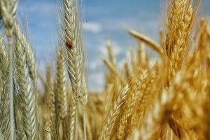 Champs de blé bio