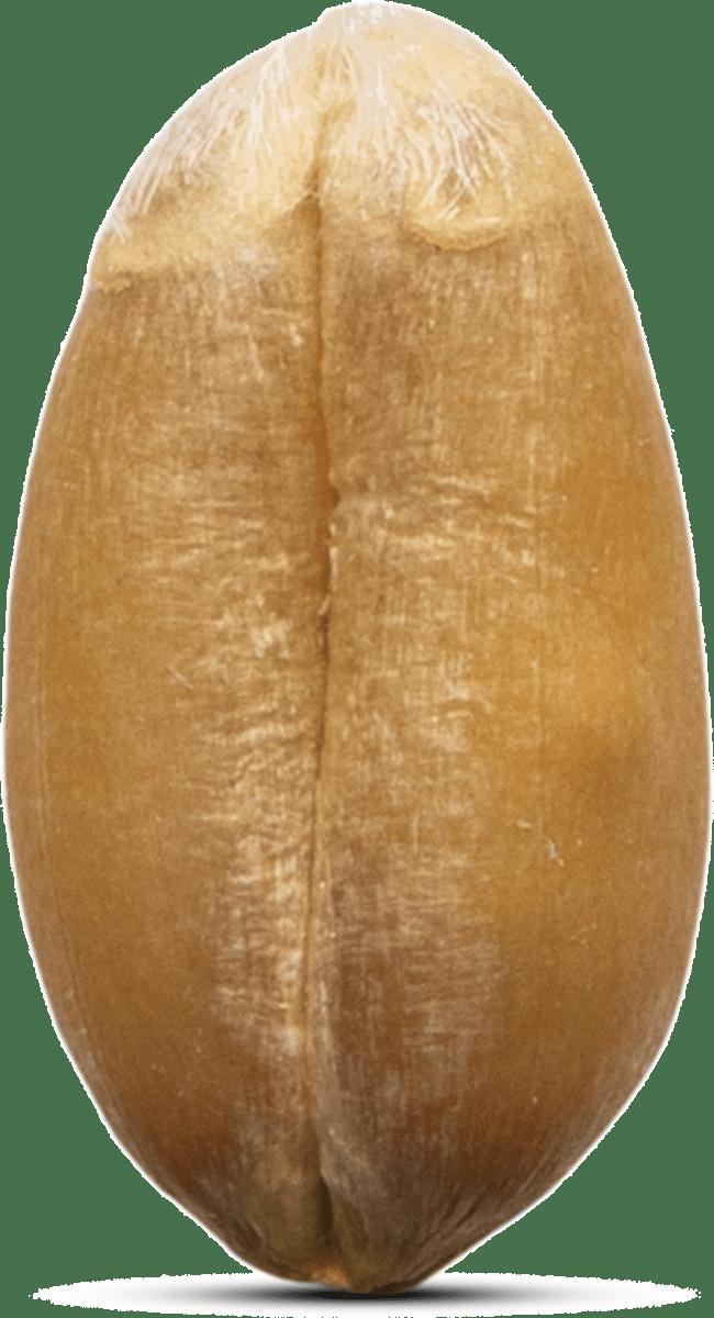 Grain de blé alliance Bio macro