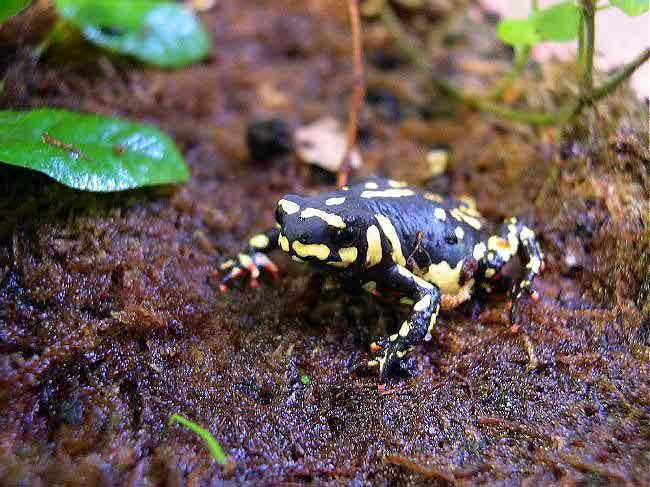 Photograph of a Bumblebee Toad, titled as such because it is black with yellow spots.