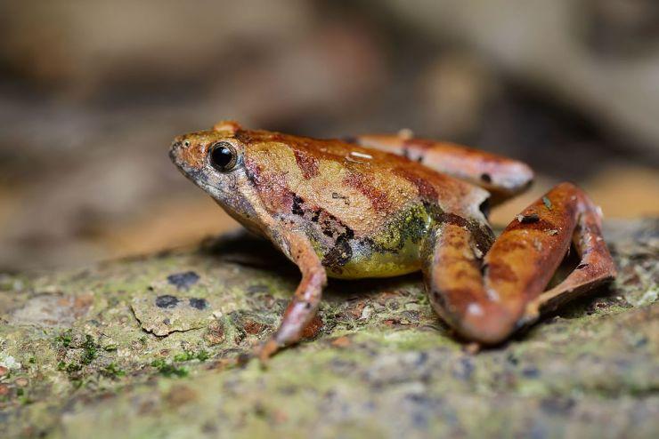 Beerdmore's Chorus Frog, orange, yellow, and purplish brown with HUGE legs.