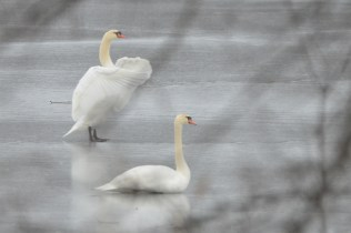 Swans on Ice