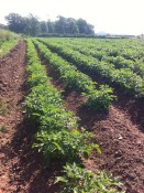 Potatoes on the way up May Hill