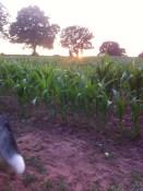 Maize at Warren Farm