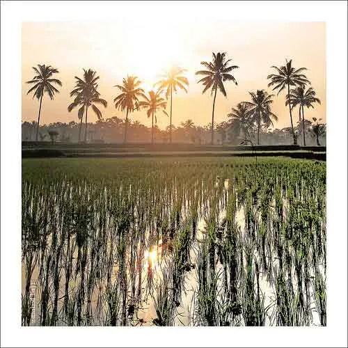 Paddy rice fields @ Ubud, Bali