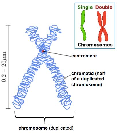 DNAChromosomeAnatomy.png