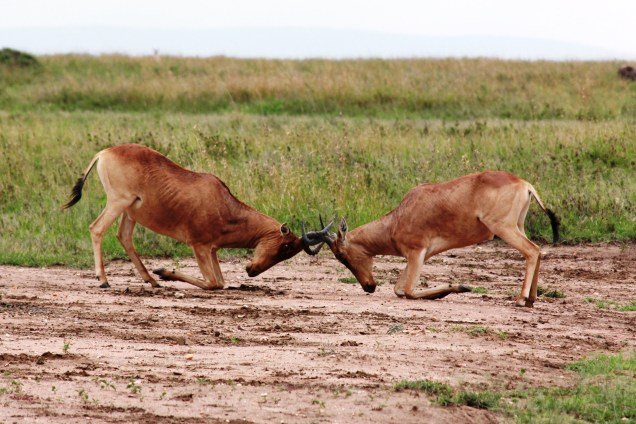 ecologyFighting_Hartebeest.jpg