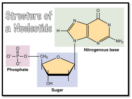 nucleicacidsnucleotide2