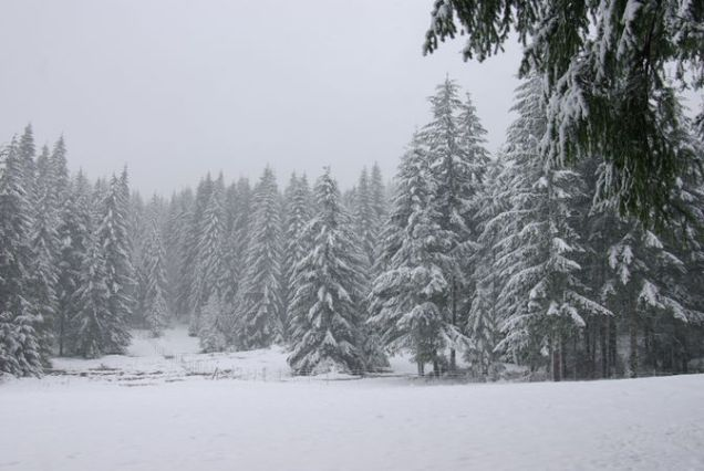 A Snowy Evergreen Forest