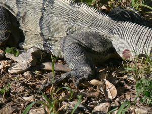 The hind leg of aniguana, showing iguanas' iconicscales.
