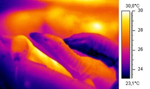 Thermographic image of amonitor lizard