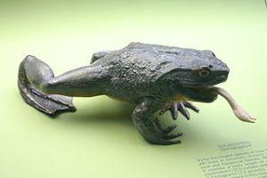 Goliath frog model https://en.wikipedia.org/wiki/File:Goliath_Frog.jpg