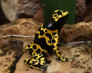 Yellow-Headed poison Dart frog or Bumblebee poison frog
