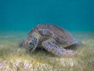 A green sea turtle grazing on seagrass