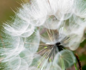 All is Ephemeral - Large dandelion flower's parachutes in the light