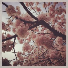 Cherry blossoms instagram