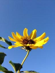 Sunny little dune sunflower. Oviedo, FL
