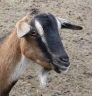 goat IMG_4148