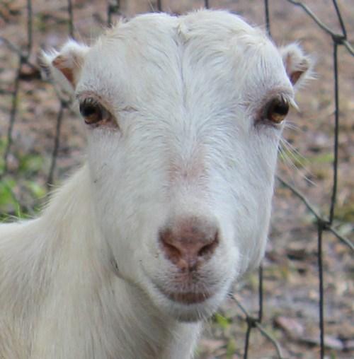 goat IMG_4405