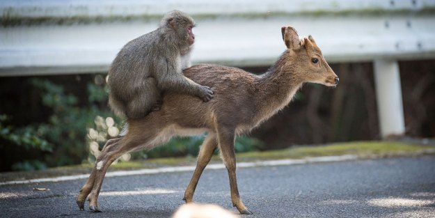 macaque et biche sika