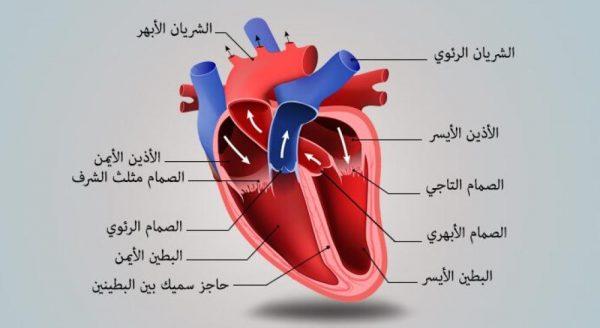 مقطع توضيحي لمكونات القلب