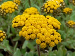helichrysum-allnaturalnow-organic-aging-wrinkles-skincare-renewal-restore-smooth-skinhealing-scars-stretchmarks-acne