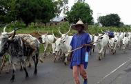 Benue State prosecutes 81 herdsmen, seize 3,000 cows for violating anti-open grazing law
