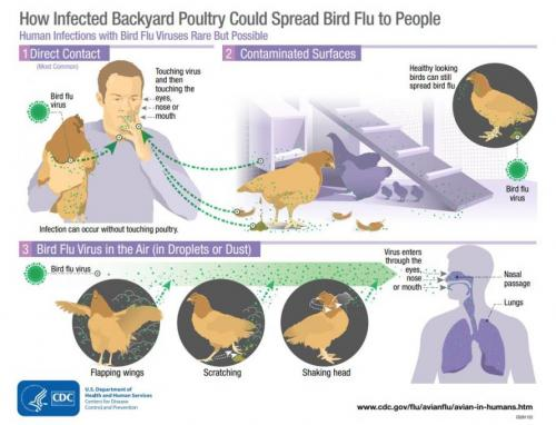 bird_flu_infection_0.jpg