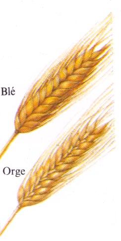 Orge blé différence
