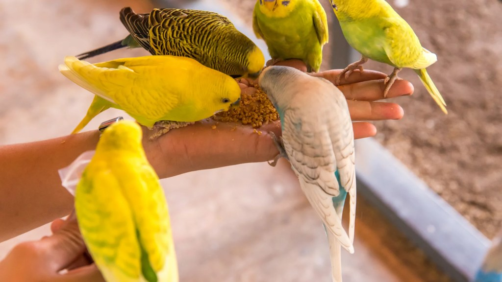 Types of Parrotlets