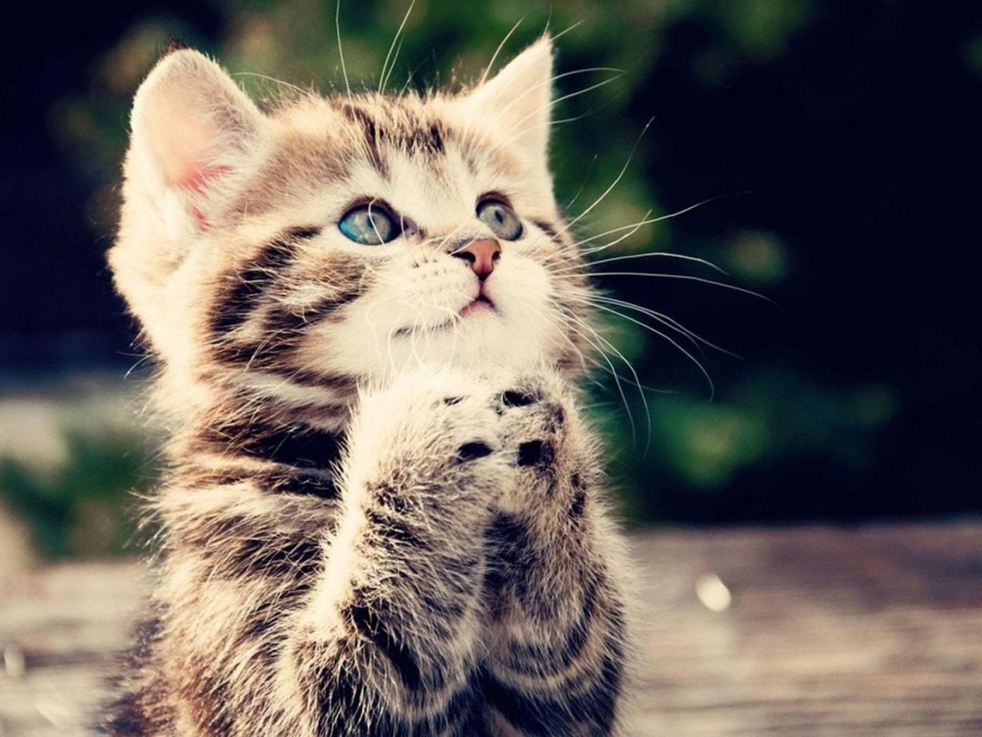 Find & download free graphic resources for baby animals. Funny Animal Wallpapers Free Download with Praying Kitten ...