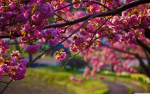 Free Download of Nature Wallpaper with Spring Flowers