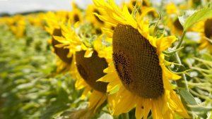 Sunflower for flower wallpaper in macro photo