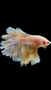 Apple iPhone 6s Wallpaper with Gold Albino Betta Fish in black Background