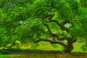 Attachment picture for Full HD Nature Wallpaper with Japanese Maple Tree