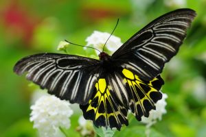 Attachment file for Rare Butterfly Photos Free Download with Golden Birdwing for Wallpaper