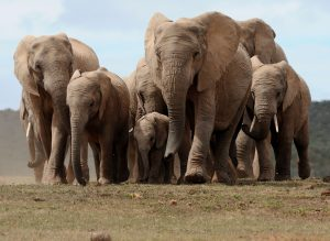 High Resolution Elephant Pictures No 9 - African Elephants Herd