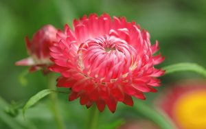 free download beautiful nature wallpaper for PC Desktop with bellis perennis flower