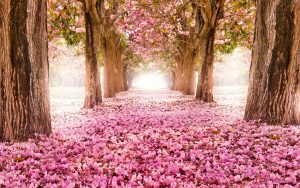 Attachment for High definition nature wallpapers with Falling cherry blossoms in Summer Season