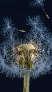 Free Download of Close Up Dandelion Flower for iPhone 7 Wallpaper