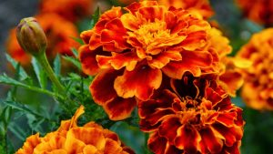 Free Download of Marigold Flower Wallpaper in HD Resolution