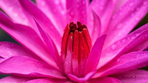 Giant Pink Water Lily Flower in Macro for Wallpaper