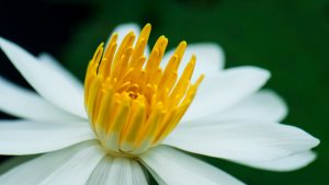 Close Up Picture of Water Lily Flower