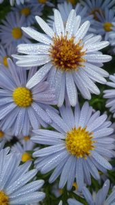Cool Phone Wallpapers with Picture of Wet White Daisy Flower