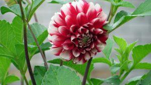 Picture of Dahlia Flower in 4K Ultra HD in 3840x2160