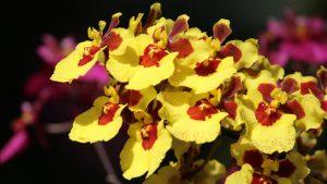 Oncidium orchids Picture in 4K